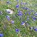 diese blauen Glockenblumen haben uns die ganze Tour über begleitet