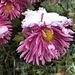 ... vor mit erstem Schnee geschmückten, noch blühenden, Gartenblumen
