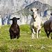 .... Die Schafe starren ihn an ...