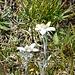 Edelweiss flowers!