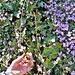 cardamine raphanifolia tra edera cademario 19 03 2019