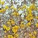 erysimum helveticum-rhaeticum lucomagno <br />su dolomia saccaroide (roccia)
