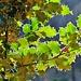 ilex aquifolium controsole   06 01 2019.<br />il contorno delle foglie è di silice