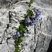 Zierliche Glockenblumen am W Vorgipfel