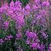 Schmalblättrige Weidenröschen (Epilobium angustifolium), ein Relikt aus der Eiszeit. Ausserhalb in mittleren Lagen der Alpen ist die Bütenpflanze eine sehr  verbreitete Art zirkumpolare Pflanzenart.