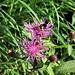 Centaurea nervosa Willd.<br />Asteraceae<br /><br />Fiordaliso alpino<br />Centaurée nervée<br />Federige Flockenblume