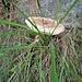 Macrolepiota procera<br />Agaricaceae<br /><br />Mazza di tamburo<br />Lépiote élevée, Coulemelle<br />Gemeiner Riesenschirmling