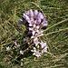 Gentiana ramosa Hegetschw.<br />Gentianaceae<br /><br />Genziana ramosa<br />Gentiane rameuse<br />Reichästiger Enzian