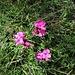 Dianthus carthusianorum L.<br />Caryophillaceae<br /><br />Garofano dei Certosini<br />Oeillet des Chartreux<br />Kartäuser-Nelke