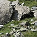 La valletta è piena di marmotte...eccone una.