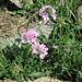 Scabiosa lucida Vill.<br />Caprifoliaceae<br /><br />Vedovina alpestre<br />Scabieuse luisante<br />Glänzende Skabiose, Glänzende Krätzkraut