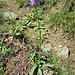 Phyteuma scheuchzeri All.<br />Campanulaceae<br /><br />Raponzolo di Scheuchzer<br />Raiponce de Scheuchzer<br />Scheuchzers Rapunzel