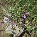 Clinopodium vulgare L.<br />Lamiaceae<br /><br />Clinopodio dei boschi<br />Sariette clinopode<br />Wirbeldost