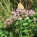 Origanum vulgare L.<br />Lamiaceae<br /><br />Origano comune<br />Origan<br />Echter Dost, Wilder Majoran