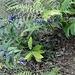 gentiana asclepiadea con pianta di castagno e felci aranno 25 08 2019