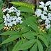 cardamine  heptaphylla (sette foglie) figino barbengo 27 03 2019<br />interessante è la foglia con 7 divisioni