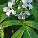 cardamine  heptaphylla (sette foglie) figino barbengo 27 03 2019