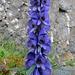 Giftiger, blauer Eisenhut - eine wunderschöne Pflanze.