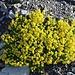 Fetthennen- oder Bach-Steinbrech (Saxifraga aizoides) auf knapp 2700m.