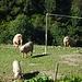 Alpschweinchen mit viel Auslauf in Partnun Stafel