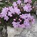 Herrlicher Kontrast: Die schöne [http://de.wikipedia.org/wiki/Zwerg-Alpenrose Zwerg-Alpenrose] (Rhodothamnus chamaecistus)