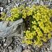 ein erstes leuchtendes Blumenpolster in der kargen Felslandschaft