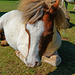 Ein echtes Shetland Pony