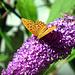 Wilder Sommerflieder mit Schmetterling