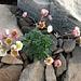 hübsche Blümchen in der kargen Steinwelt 1