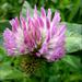 Klee (Trifolium)
