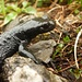 Alpensalamander (Salamandra atra).