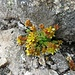 Alpen-Mauerpfeffer (Sedum alpestre)