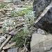 Ährige Edelraute (Artemisia genipi)
