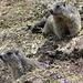 Zwei junge Murmeltiere - vermutlich letztes Jahr geboren, haben sie den ersten Winterschlaf überstanden