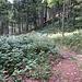 Wir kamen nicht über diesen Holzabfuhrweg, sondern links aus der Botanik. Beim Abstieg käme man ohne Ortskenntnis wohl kaum auf die Idee, dass dort die Route verlaufen könnte