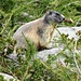 ...Un bel Marmottone sospettoso