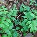 lathyrus sylvestris fabaceae monte di Caslano percorso didattico