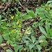 Coronilla emerus = Hippocrepis emerus e helleborus monte di Caslano percorso didattico
