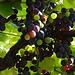 Bald werden die Merlot-Trauben geerntet. Die besten Tessiner Weine brauchen den Vergleich zu den guten Gewächsen aus dem Bordeaux nicht zu scheuen.