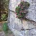 eigentlich mehr eine Kletter- denn eine Alpenrose