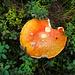 Pilz in Rausch- und Heidelbeeren