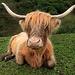 Kuh Schottisch