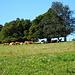 die Kühe auf dem Weg abwärts, an ihnen muss ich noch vorbei