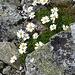 """""""Da vos am schlimmschten isch:"""" aufmunternde Alpen-Wucherblumen in den etwas festeren Felsen an der linken Kante des SW-Couloirs"""