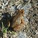 Ein sehr kleiner Frosch auf dem Trockenen - ob der auf der Suche nach dem nächsten Teich ist?
