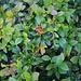 Heidelbeere (Vaccinium myrtillus).<br /><br />Wegen den leckeren Beeren benötigte ich etwas länger für den Abstieg :-)