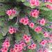 "<a href=""http://it.wikipedia.org/wiki/Echium_wildpretii"" rel=""nofollow"">Viperina rossa del Teide (echium wildpretii)</a>"