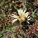 Carlina acaulis subsp. caulescens (Lam.) Schübl. & C. Martens<br />Asteraceae<br /><br />Carlina bianca<br />Carline blanche<br />Silberdistel, Stängellose Eberwurz