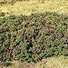 Vaccinium mirtillus L.<br />Ericaceae<br /><br />Mirtillo nero<br />Myrtille<br />Heidelbeere