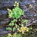Saxifraga aizoides L.<br />Saxifragaceae<br /><br />Sassifraga cigliata <br />Saxifrage des ruisseaux, Saxifrage ciliée <br />Bewimperter Steinbrech, Bach-Steinbrech